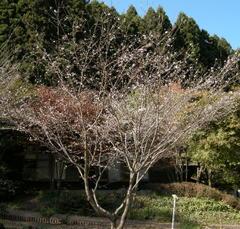 Fuyuzakura01