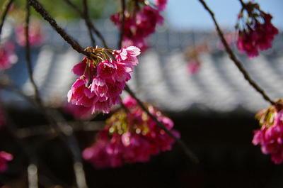 Amanesakura