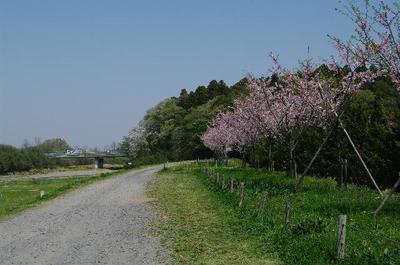 Aomoigawazakura06
