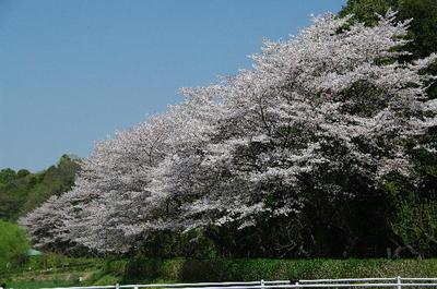 Asomeiyoshino02