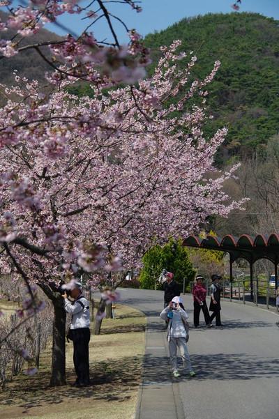 Amikamoyamanokawazuzakura04