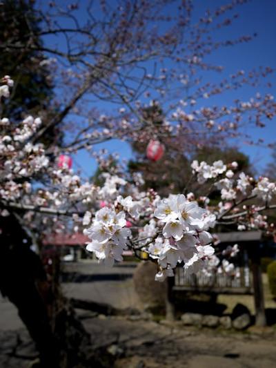 Asiroyamakouennosakura01