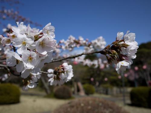 Asiroyamakouennosakura02