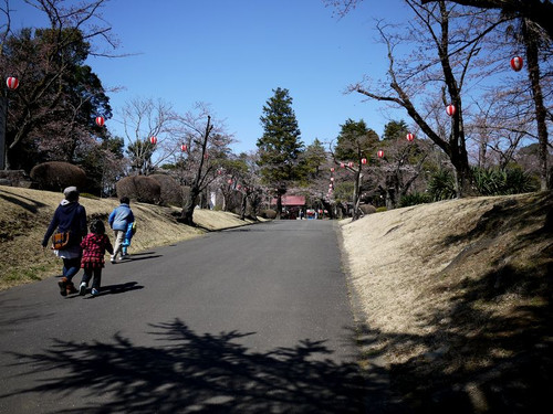 Asiroyamakouennosakura04