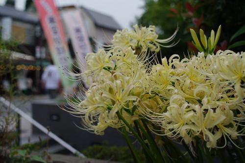 Asiroihiganbana01