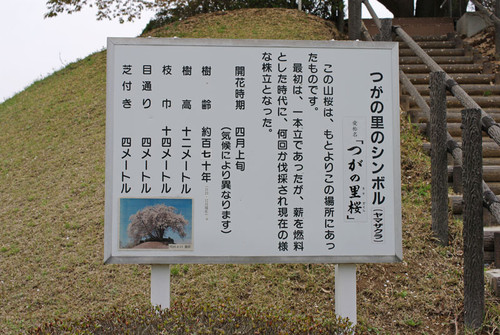 Asatozakura04