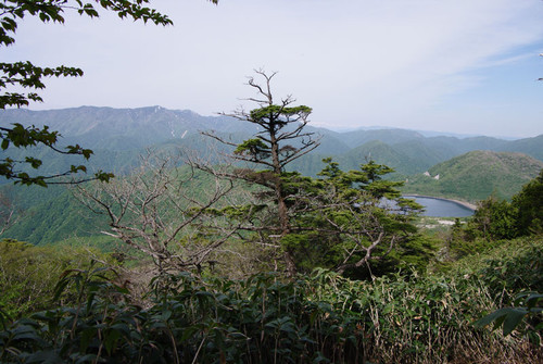 Aazumashakunage04