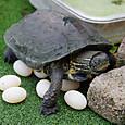 亀三郎、初めての産卵