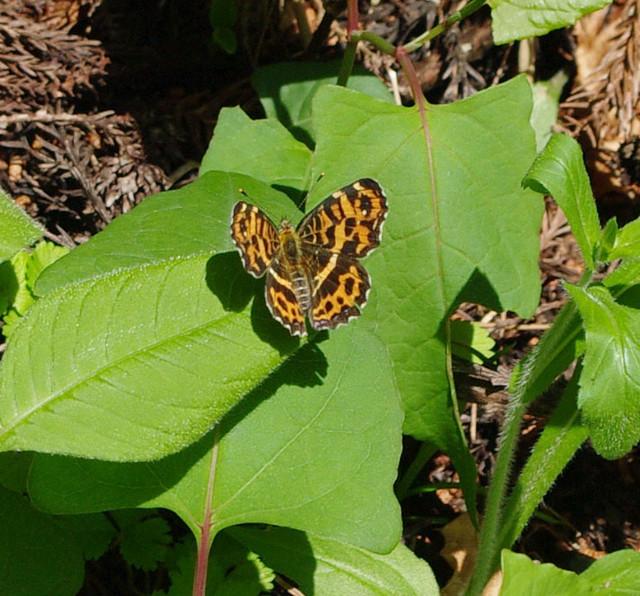 サカハチチョウ(春型)