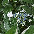 フイリガクアジザイ(斑入額紫陽花)