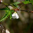 モミジイチゴ(下向き咲いてる様子)