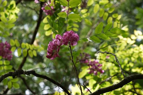 ニセアカシア(赤紫色)