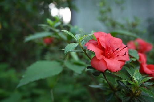 ヤマツツジ(八重咲き)